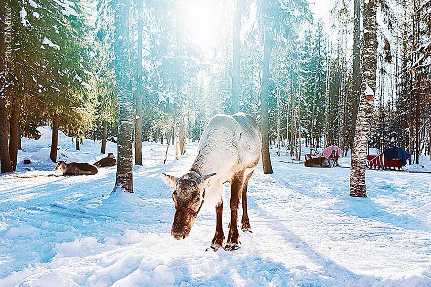 Ren letar mat i vinterlandskap